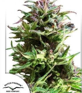 Forest Dream by Dutch Passion Seeds