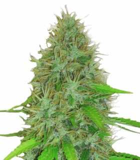 2 Fast 2 Vast by Heavyweight Seeds