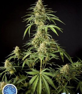 Philo Skunk a.k.a Gokunk by Philosopher Seeds