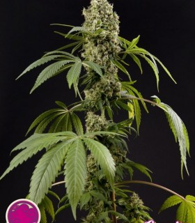 Guayita by Philosopher Seeds