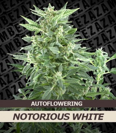 Notorious White Automatic