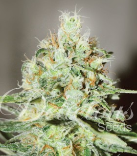 Swet Lion Sitte by Delicious Seeds