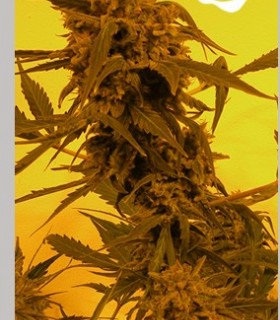 Guillotine by French Touch Seeds