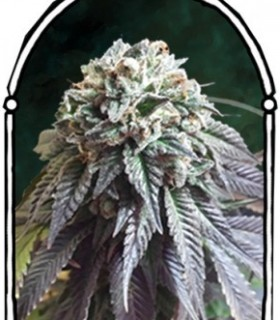 The Dark Side by The Kush Brothers Seeds