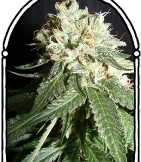 OG Cheese by The Kush Brothers Seeds