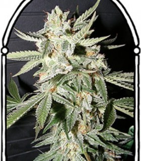 Confidencial Medecine by The Kush Brothers Seeds