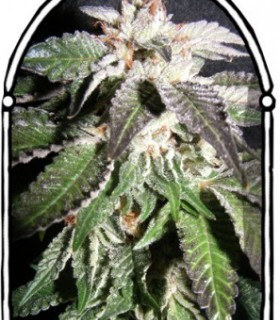 Confidencial OG by The Kush Brothers Seeds