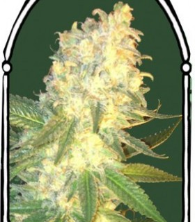 Masskush by The Kush Brothers Seeds