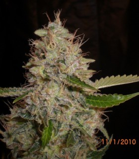 White Widow x Critical by Expert Seeds