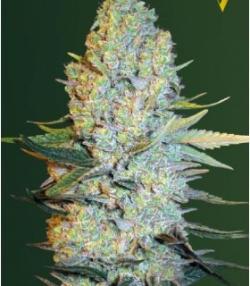 Amnesium (Former Amnesia) by Victory Seeds