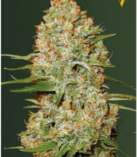 Auto Amnesium (Former Auto Amnesia) by Victory Seeds