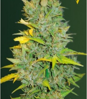 Auto Biggest Bud (Former Auto Big Bud) by Victory Seeds