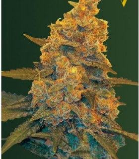 Auto Blow Dream (Former Auto Black Dream) by Victory Seeds