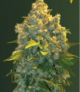 Auto Chronic Monster XXL (Former Auto Chronic XXL) by Victory Seeds