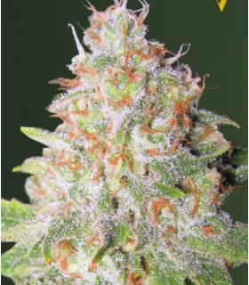 Auto Green Wild Shark (Former Auto Great White Shark) by Victory Seeds