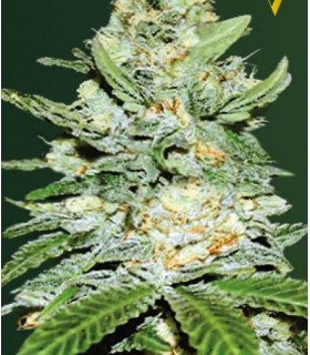 Auto Jack Hammer (Former Auto Jack Herer) by Victory Seeds