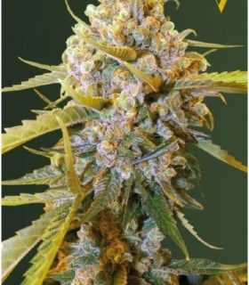 Biggest Bud by Victory Seeds