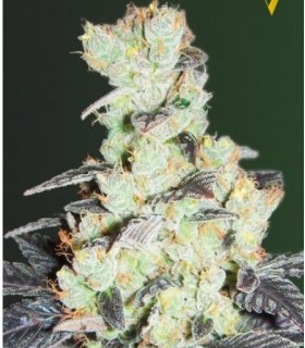 NHL Diesel by Victory Seeds