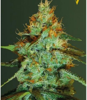 Original Limonade Skunk by Victory Seeds