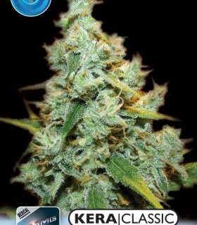 Medical Amnesia Mac Ganja by Kera Seeds