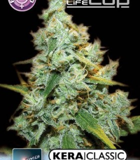 Amnesia Mac Ganja by Kera Seeds