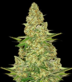 Power Vip by VIP Seeds