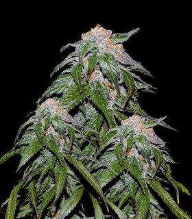 Medical Vip by VIP Seeds