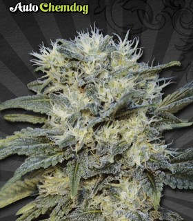 AUTO CHEMDOG by Auto Seeds