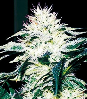 Doble W by Exclusive Seeds