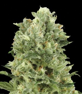 Oxus by Exclusive Seeds