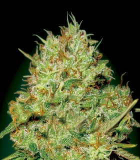 Nemo by Exclusive Seeds