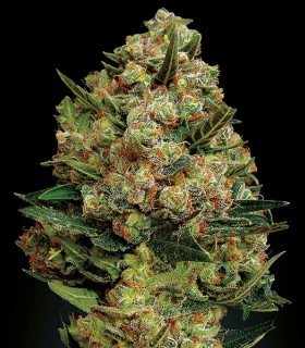 Critical Exclusive by Exclusive Seeds