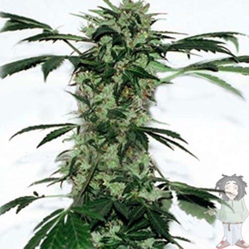 Acheter g13 labs poison dwarf graines de cannabis for Acheter poison