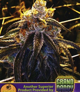 Bay 11 by Grand Daddy Purp