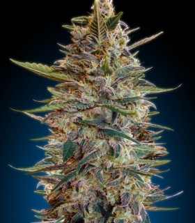 Automatic Cool 2 by Advanced Seeds
