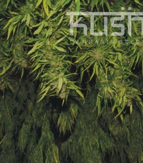 Afghani Kush by Kush Cannabis Seeds