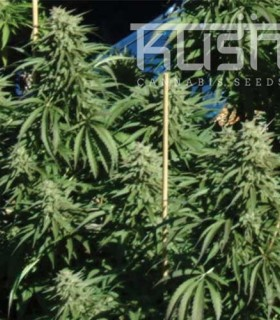 Diesel Kush by Kush Cannabis Seeds