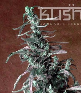Haze Kush by Kush Cannabis Seeds