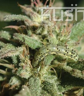 White Kush by Kush Cannabis Seeds