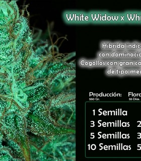 Bull Widow by Bull Seeds