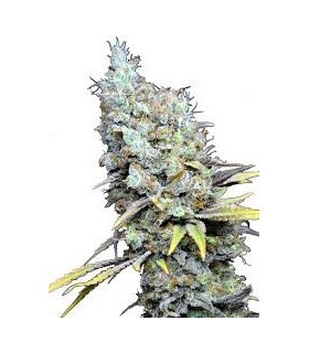 CBD Big Bud Super Skunk by CBD Botanic
