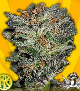 Dieselicious by Freedom of Seeds