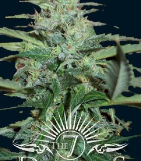 Colossus by The 7 Dwarfs Seedbank