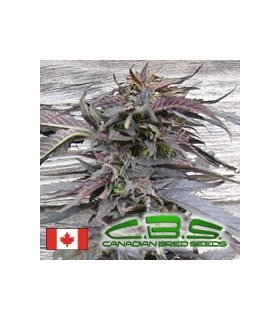 Lethal Purple by Canadian Bred Seeds