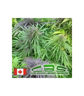 Madame Poison by Canadian Bred Seeds