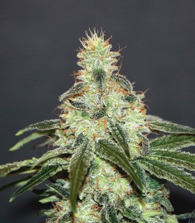 Mataro Blue CBD by Kannabia Seeds
