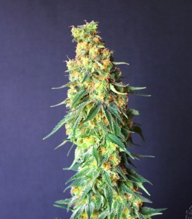 White Domina CBD by Kannabia Seeds