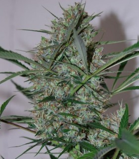 Speed Haze by Black Skull Seeds