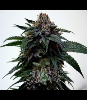 Super Kush by The Doctor Seeds