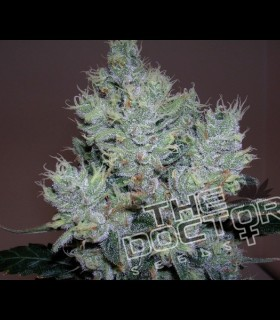 Yumboldt Special by The Doctor Seeds